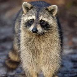 Racoon avatar photo